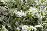 Apple Blossoms, American Club, Kohler, Wisconsin