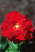 """""""Roseberry Blanket"""" Red Rose, Gardens of the Fox Cities, Appleton, Wisconsin"""