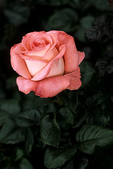 """Olympiad"" Orange Rose, Corpus Christi, Texas"