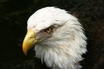 Bald Eagle, Jacksonville Zoo, Jacksonville, Florida