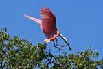 Roseate Spoonbill landing on tree, St. Augustine, Florida
