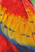 Scarlet Macaw feathers, Alligator Farm, St. Augustine, Florida