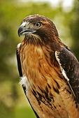 Red-tailed Hawk, Heckrodt Nature Preserve, Menasha, Wisconsin