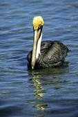 Brown Pelican in Water, Ding Darling Wildlife Refuge, Sanibel Island, Florida