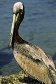 Brown Pelican on shore, Sanibel Island, Florida