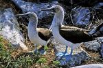Blue-footed Booby Pair, Galapagos Islands, Ecuador