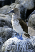 Blue-footed Booby, Galapagos Islands, Ecuador