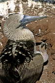 Blue-footed Booby with Chick, Galapagos Islands, Ecuador