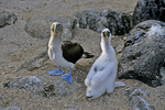 Blue-footed Booby with Juvenile Chick, Galapagos Islands, Ecuador