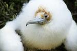 Frigatebird Chick close-up, Galapagos Islands, Ecuador