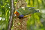 Gouldian Finch on feeder, Butterfly World, Coconut Creek, Florida