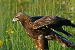 Golden Eagle in meadow, Holland, Michigan
