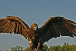 Golden Eagle with Wings spread, Holland, Michigan