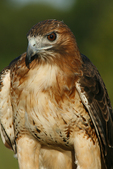 Red-tailed Hawk, Holland, Michigan