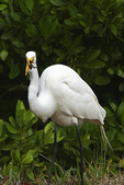 Egret with frog in mouth, Ding Darling Wildlife Preserve, Sanibel Island, Florida