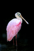 Roseate Spoonbill, Ding Darling Wildlife Refuge, Sanibel Island, Florida