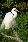 White Egret in breeding plumage, Alligator Farm, St. Augustine, Florida