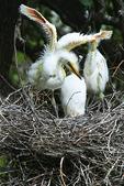 Egret chick ready to fly, Alligator Farm, St. Augustine, Florida