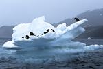 Adelie Penguins on Ice Flow, Antarctica