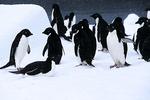 Gentoo Penguins & Chicks in Snowstorm, Antarctica