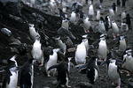 Chinstrap Penguins marching from the water, Antarctica