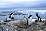 Gentoo Penguins at nests, Antarctica
