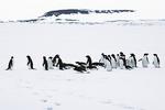 Adelie Penguins Crossing Ice, Antarctica