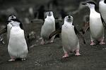 Chinstrap Penguin group, Antarctica