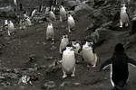 Chinstrap Penguins from the sea, Antarctica