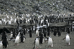 Chinstrap Penguins March to the Sea, Antarctica
