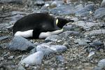 King Penguin Juvenile, Antarctica