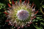 Protea flower, Kulu Gardens, Maui, Hawaii