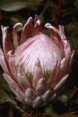 Protea Flower with dew, Kulu Gardens, Maui, Hawaii