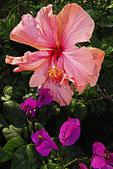 Hibiscus and Bougainvillea flowers in garden, Puerto Vallarta, Mexico