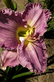 Chance Encounter Daylily, Solaris Farms, Reedsville, Wisconsin