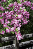 Lilac at fence, Wade House Historic Site, Greenbush, Wisconsin