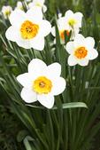 Barrett Browning Daffodils, Boerner Botanical Gardens, Milwaukee, Wisconsin