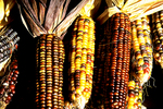 Indian Corn in Fall, Clintonville, Wisconsin