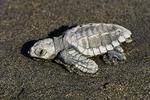 Baby sea turtle, Nuevo Vallarta, Mexico