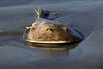 Horseshoe Crab, Bay of Banderos, Paradise Village, Nuevo Vallarta, Mexico