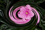 Pink Africa Violet in Twirl