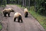 Bears on the road, Katmai National Park, Alaska