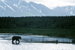 Bear in water and mountains, Katmai National Park, Alaska