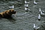 Bear feeding in river with gulls, Katmai National Park, Alaska