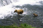 Brown bear and cub in water at the falls, Katmai National Park, Alaska