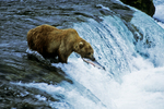 Brown bear and fish at falls, Katmai National Park, Alaska