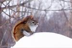 Squirrel in Snow, Appleton, Wisconsin