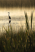 Heron in Marsh, Sunrise Lodge, Land-o-Lakes, Wisconsin