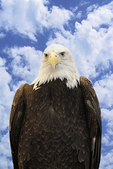 Bald Eagle & Sky, Prairie du Chien, Wisconsin
