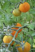 Orange Cherry Tomatoes, Appleton, Wisconsin
